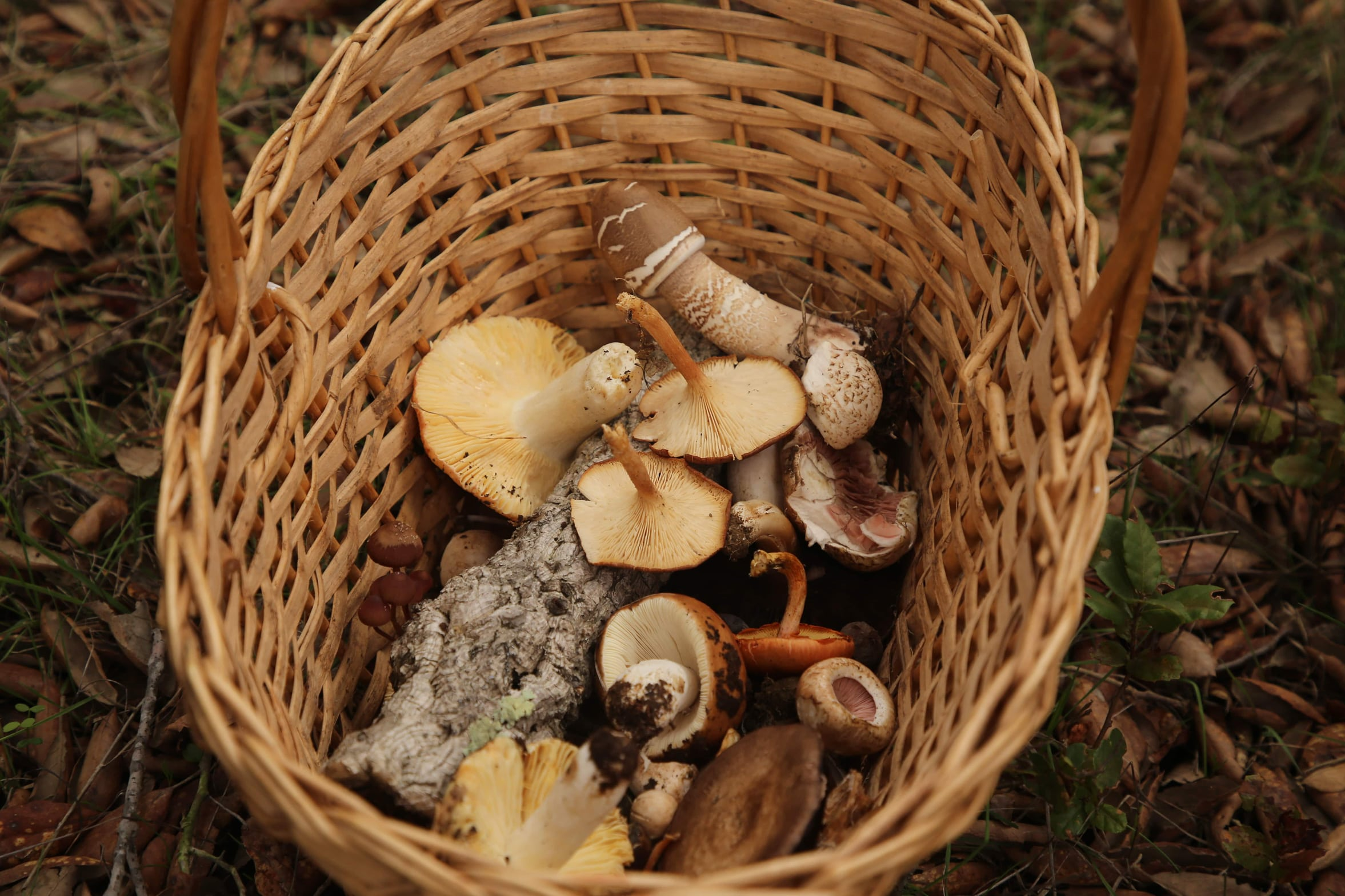 Cogumelos silvestres (CMMN)